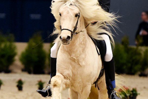 MCK1345 Geysir 110217 stallion show