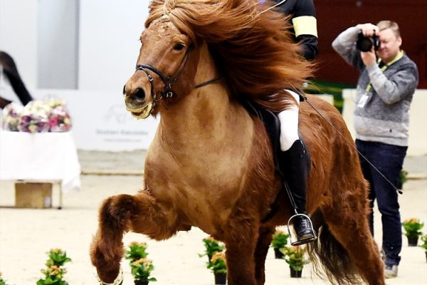 MCK7991 Jarl and Steffi 4-gait stallion show 240218