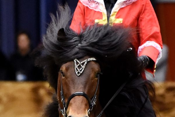 MCK0061 Morgan stallion show 220220