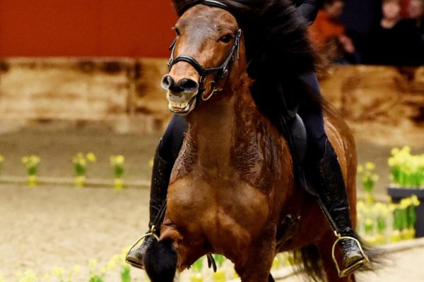 MCK0513 Oddsteinn stallion show 220220