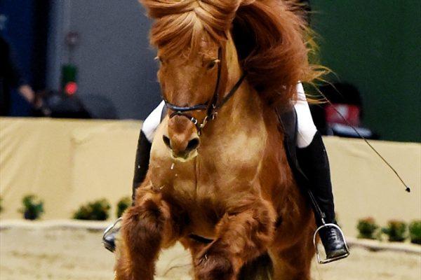 MCK0083 Jarl and Steffi 4-gait stallion show 240218 Power