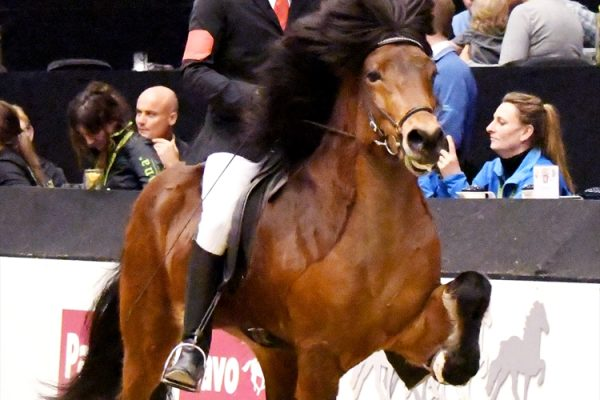 MCK1685 Thór-Steinn and Jóhann 4-gait stallion show 240218