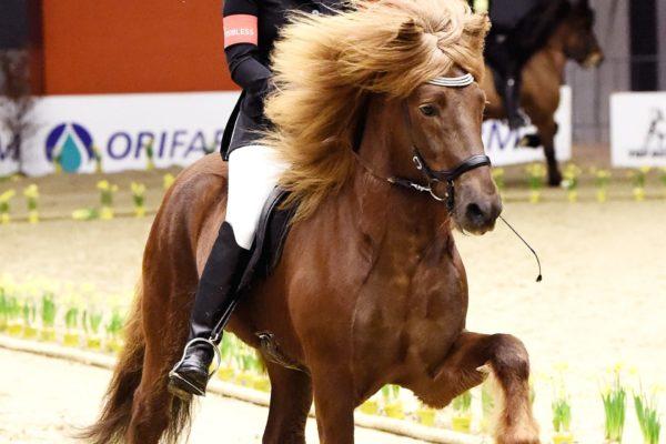 MCK4427 Fálinn 2202220 Winner 4-gaited stallion show